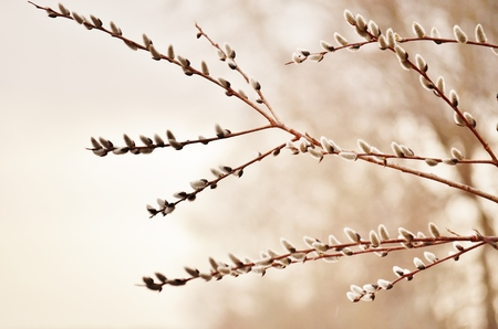 Pussywillow Branch