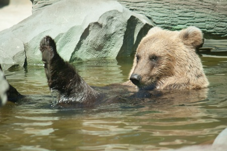 Brown bear sits in the water Shooting at the Zoo photo