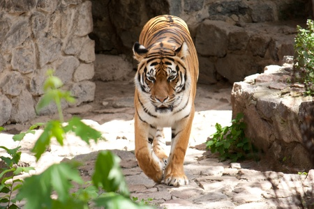 Beautiful tiger goes on Shooting at the Zoo photo