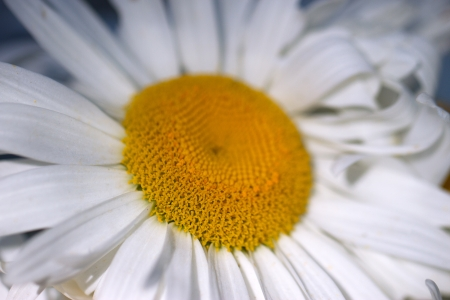 Large  camomile close-up on blue background photo