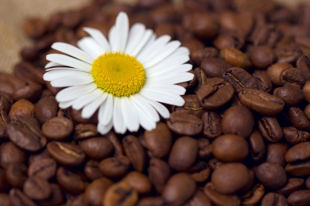 coffee beans with chamomile Stock Photo - 17311084