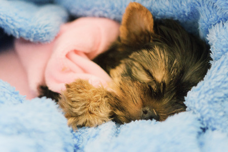 A female Yorkshire Terrier puppy sleeping closeup with blue bow, boa, and blanket