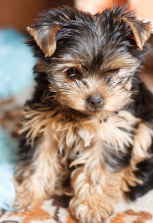 2 months: Portrait Small Yorkshire Terrier Puppy 2 months Stock Photo