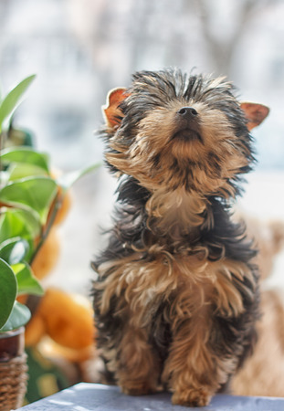 proudly: Yorkshire Terrier 2 months proudly lifted his head up