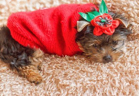 yorky: Yorkshire Terrier 2 months in a red sweater lying on the carpet
