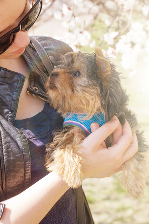 terrier: young woman holding a Yorkshire terrier puppy. Outdoors Stock Photo