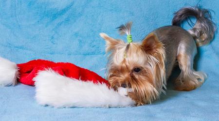 cute yorkie toy wearing a nice santa cap