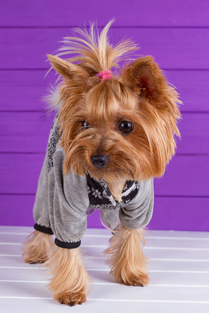 Funny Yorkshire Terrier in overall staying on purple background