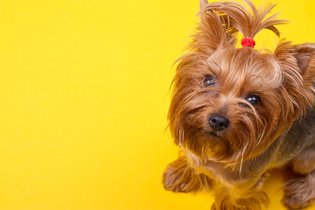 Yorkshire terrier looking at the camera a yellow background