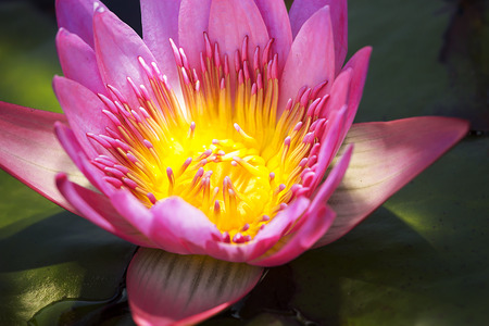 nymphaea: Close to a water lily Nymphaea alba