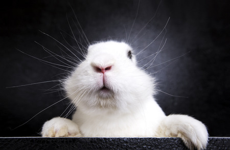 White funny rabbit on the black background in the studio
