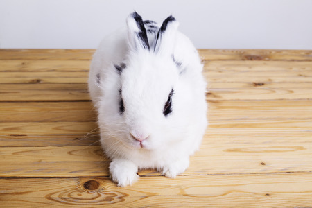 White rabbit on the wooden background in the studio