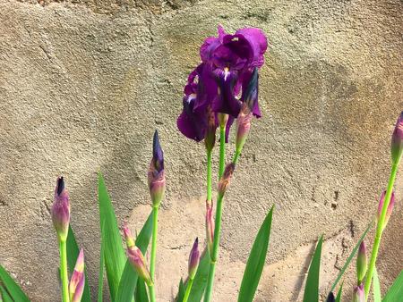 Beautiful flowers of iris. Beautiful irises on green background. Iris plant in garden bloom in spring Stock Photo
