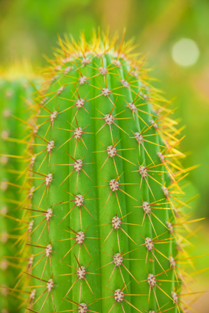 Cacti in spring in nature, Israel. Macro shot Stock Photo