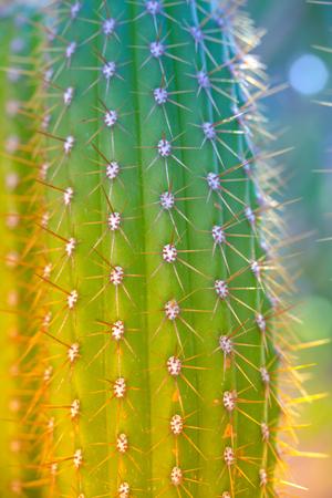 Cacti in spring in nature, Israel. Macro shot 스톡 콘텐츠