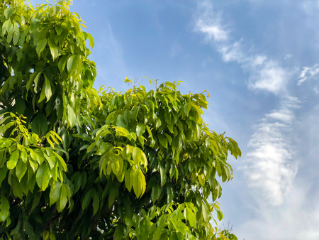Green leafy sky background. Close up shot Stock Photo