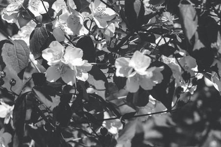 Jasmine flower branch. Close-up flowers in a garden. Jasmine flowers blossoming on bush in sunny day