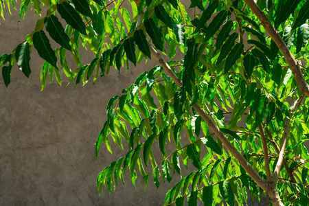 Green branches against the background of an old house. Bright branches and a dull background. 스톡 콘텐츠