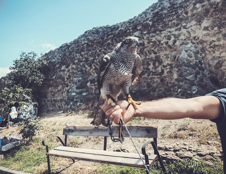 Tamed hawk sitting on the master's hand.Summer day in old Tbilisi.