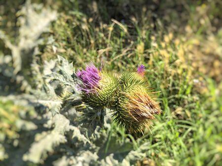 Spine flower, green grass. Summer day. Imagens - 150549791