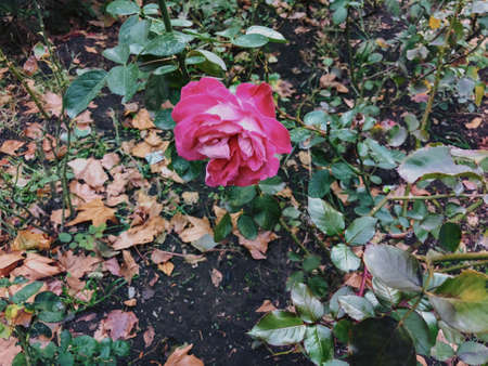 Pink rose and green leaves in the yard in  autumn suny day. Close up shot.