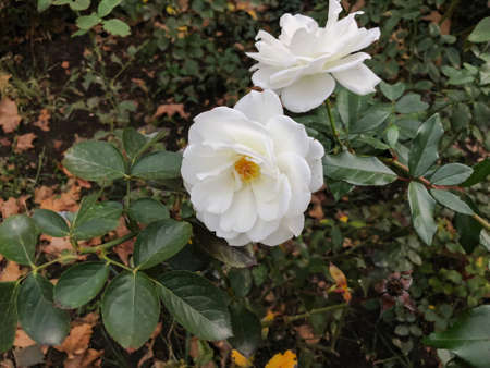 White rose and green leaves in the yard in  autumn suny day. Close up shot. Imagens