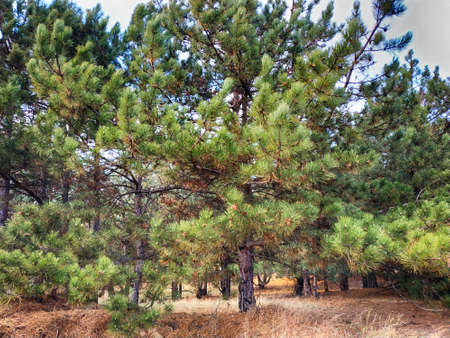 Pine trees with fresh brown pine cones and green pine needles. Imagens