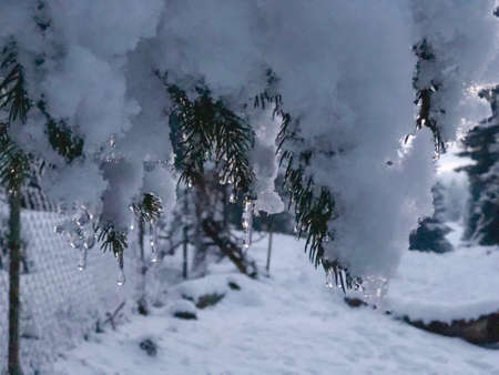 Sprig of spruce with icicles. Beautiful view of the snowy landscape. The beginning of winter in Bakuriani. 版權商用圖片