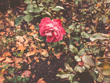 Red rose and green leaves in the yard in  autumn suny day. Close up shot.