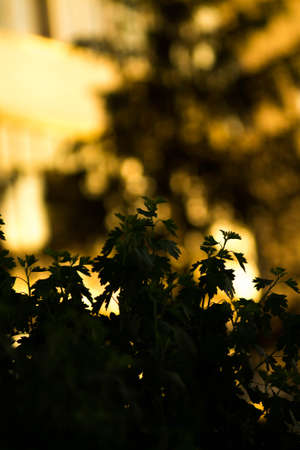 Currant bushes silhouette on blurred background in bright sunset light. Imagens