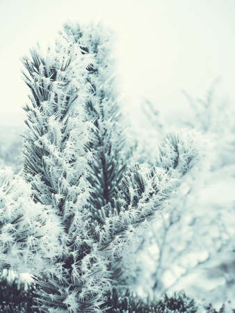 Spruce branches in the snow. Christmas tree. Christmas Holidays Background.