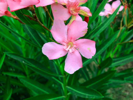 Pink flowers  and green leaves in the yard. Close up shot.