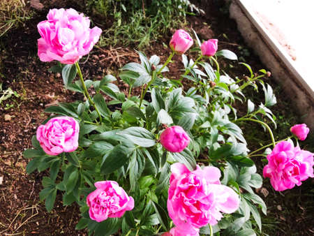 Outdoor in summer residence.Beautiful flowering  pink color flower.
