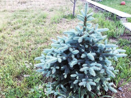 Outdoor in summer residence. Little pine tree. 스톡 콘텐츠