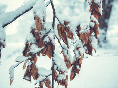 Snowfall. Snow covered trees and autmn leaves in the snowfall. Winter in mountain. Close-up shot. Imagens - 150980535