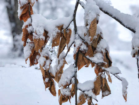 Snowfall. Snow covered trees and autmn leaves in the snowfall. Winter in mountain. Close-up shot.