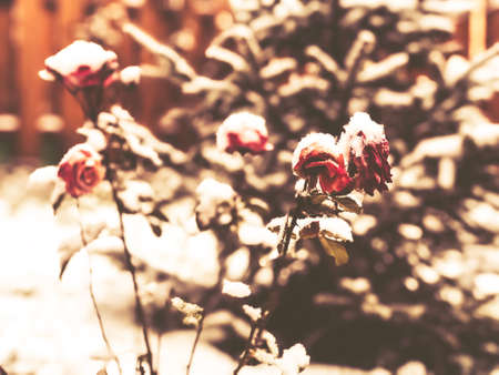 Frozen flowers under the snow on blurred background. The beginning of spring Imagens