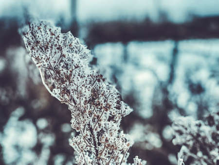 Branches of dry grass in the snow. Snow dried flowers. Imagens - 150634215