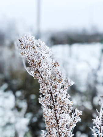 Branches of dry grass in the snow. Snow dried flowers. Imagens - 150634220