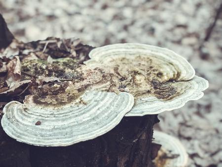 Los hongos leñosos crecen en tocones y en los lados de los árboles. Foto de archivo