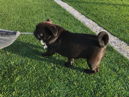 Black pug plays on the sports ground. Sunny day in the yard of a new house.