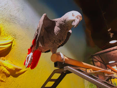 The grey parrot with red tail, also known as the Congo grey parrot or African grey parrot. Imagens