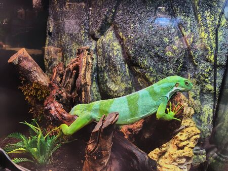 Green iguana on a branch in the aviary. Banco de Imagens