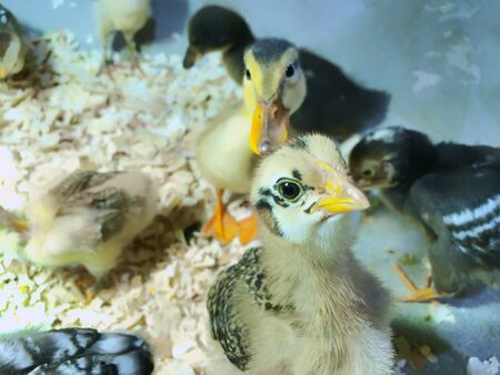 Chicks of ducks and geese. A variety of chicks. Cute chicks in one aviary.