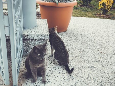Two beautiful cats with gray and white spots playing on a yard near the big gate. Sunny day in the seaside.
