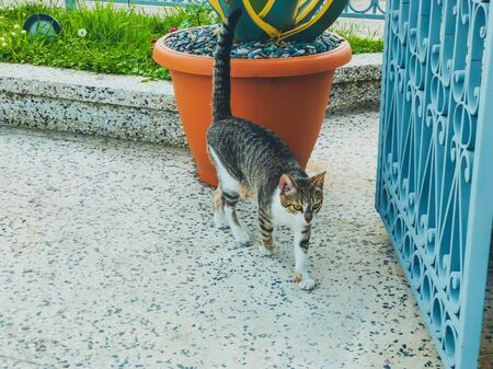 Beautiful cat with gray and white spots is walking on a yard near the big gate. Sunny day in the seaside.