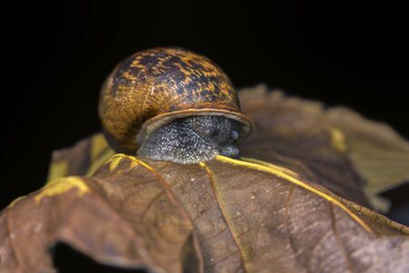 Big snail on a dry, beautiful bright colorful autumn leaf, close up shot.
