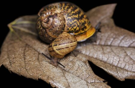 Big and small snails on a dry, beautiful bright colorful autumn leaf, close up shot. 写真素材 - 134397804