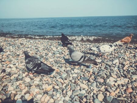 Wild pigeons by the sea, pigeons on the azure rocky shore of the sea. Sunny autumn weather at sea. 写真素材 - 134794215