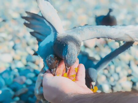 Wild pigeons by the sea, a man feeds pigeons on the azure rocky shore of the sea. Sunny autumn weather at sea. 写真素材 - 134795072